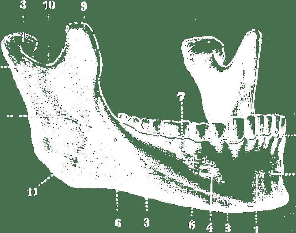 Diagram of Jaw Representing Digital Marketing